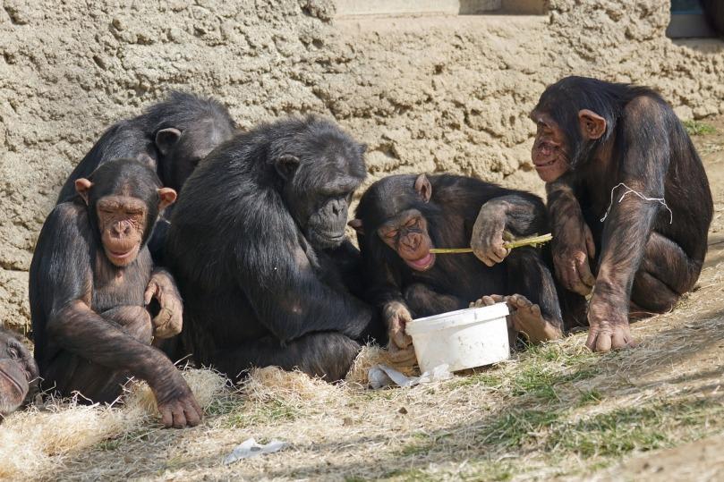 chimps-1273602_1920
